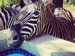 Zebra by pool